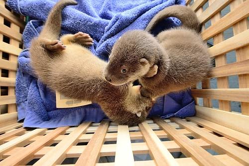 金門小水獺兄弟們飯後做運動。(圖片來源:台北市立動物園)