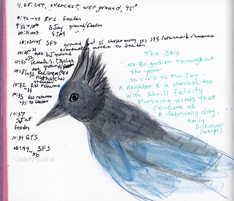 Fake Journal steller's jay