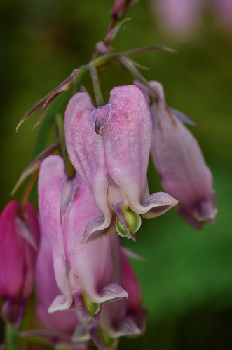 <p><i>Dicentra formosa</i>, Fumariaceae<br /> Burnaby Mountain Conservation Area, Burnaby, British Columbia, Canada<br /> Nikon D5100, 105 mm f/2.8<br /> May 11, 2014</p>
