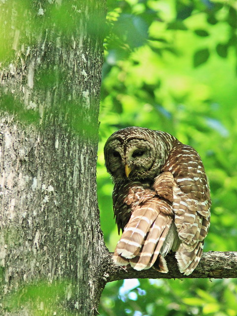 Barred Owl 2-20140421