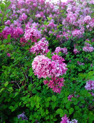 purpleflowers_4586