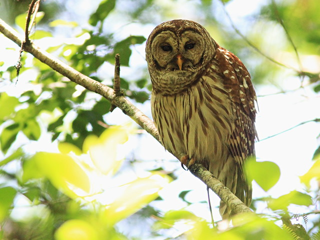 Barred Owl adult 3-20140421