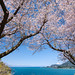 Mt Fuji, Blue Sea, under the Cherry Tree [Explore] by -TommyTsutsui- [nextBlessing]