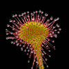 Photo: Drosera (unspecified)