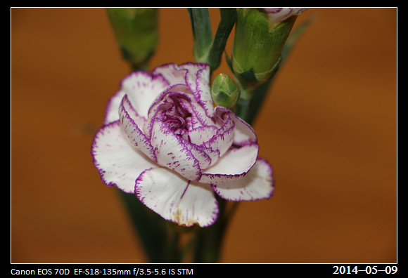20140509_Carnation
