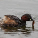Dabchick (Little Grebe) with Fish by CanonGirl101