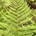 Athyrium filix-femina, Cheekwood Botanical Garden, Nashville, Tennessee