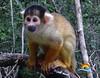 Un-mono-del-Amazonas (Copy)