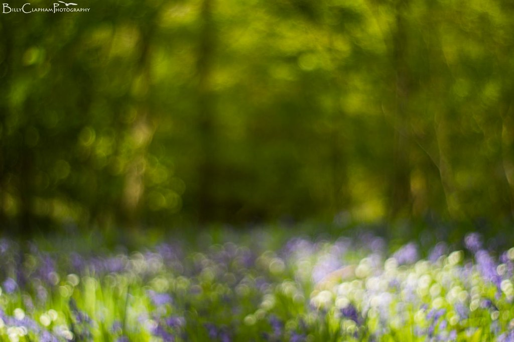 bluebell  wood bokeh focus abstract