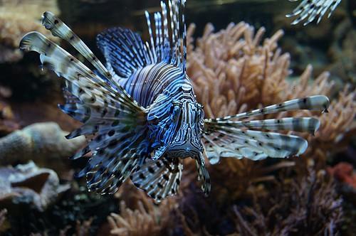 Gestreifter Zwergfeuerfisch