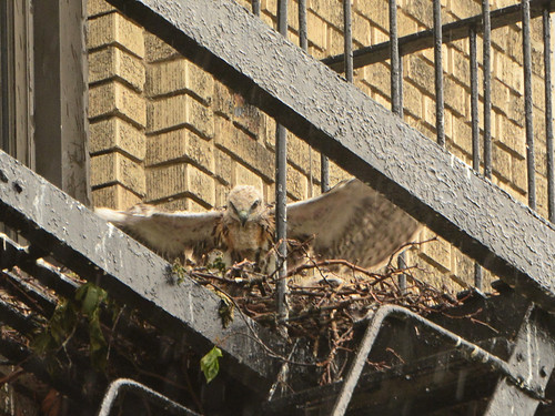 JHW Hawk Nest (0485)