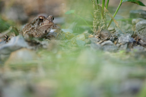 Wood Frog, Desert Lake