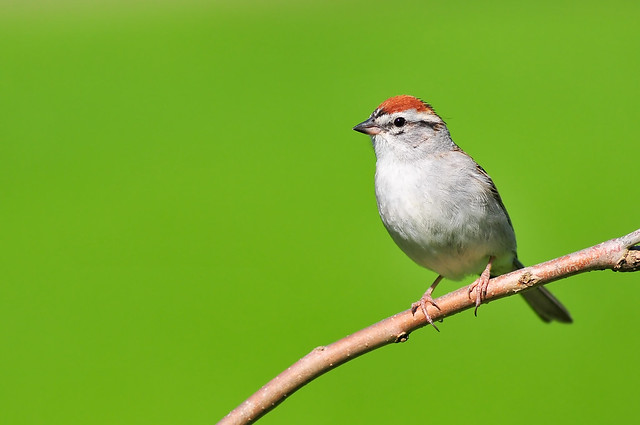Chipping Sparrow