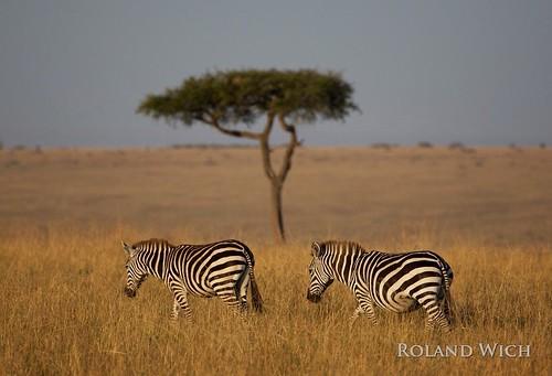 africa kenya safari mara zebra afrika kenia masai zebras