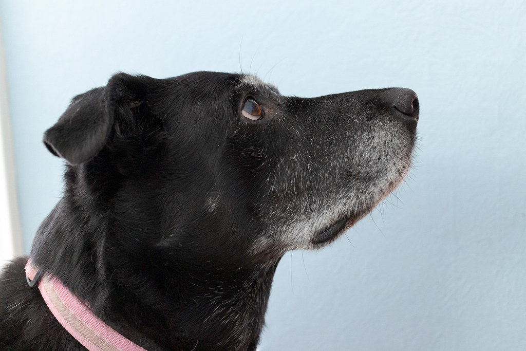 A close-up of our dog Ellie looks up expectantly while wearing her pink collar