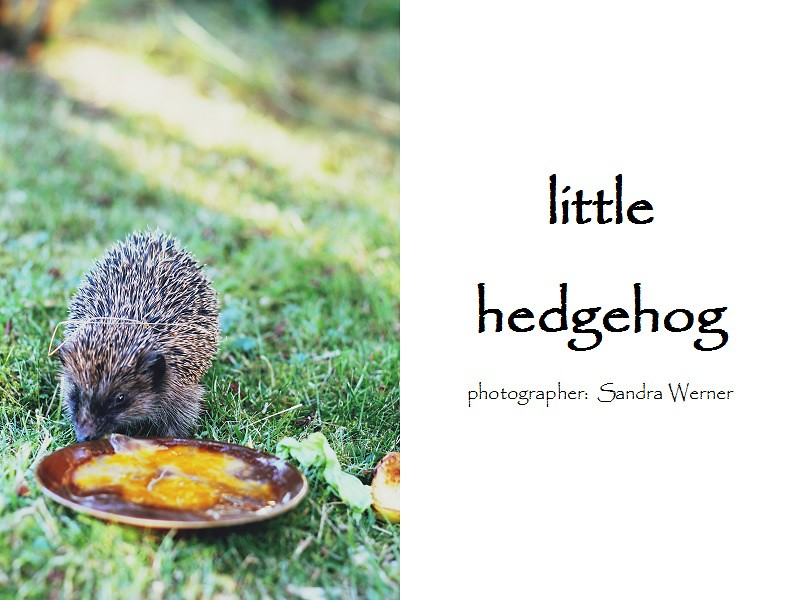 http://sunny-blossom-photography.blogspot.de/2014/06/little-hedgehog.html