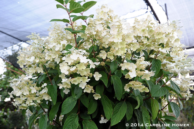 Hydrangea tree at Pomarius Nursery