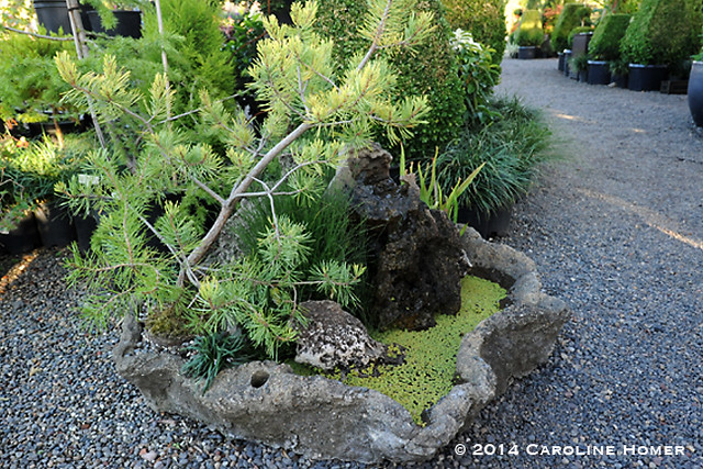 Bonsai conifer in hypertufa