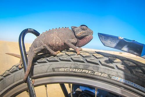 Chameleon rolling