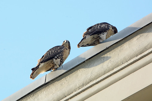 Cathedral Hawk Fledglings - 3337