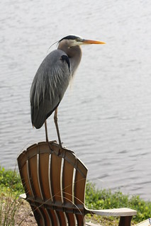 3rd Place - Great Blue Heron 'Waiting for Mike' - Mike Beadle