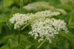 apiales(0.0), yarrow(0.0), blossom(0.0), lilac(0.0), produce(0.0), flower(1.0), cow parsley(1.0), cicely(1.0), plant(1.0), anthriscus(1.0), wildflower(1.0), flora(1.0), angelica(1.0), meadowsweet(1.0),