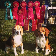 Another awesome day for the beagle boys at day 2 of The Bay Team's USDAA agility trial! Both boys Q'd in Adv Pairs, Adv Snooker and Dylan Q'd in Adv Jumpers! Dax's Adv Snooker was his 3rd Q for his APK title! Which means tomorrow we will be in the Masters