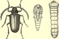"Image from page 209 of ""Coleoptera : general introduction and Cicindelidae and Paussidae"" (1912)"