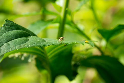 09022 Dung Fly