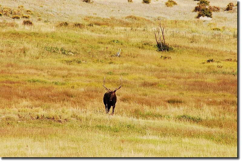 Elk in Moraine Park 3