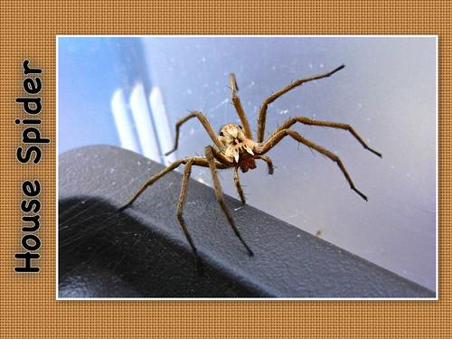 House Spider 02