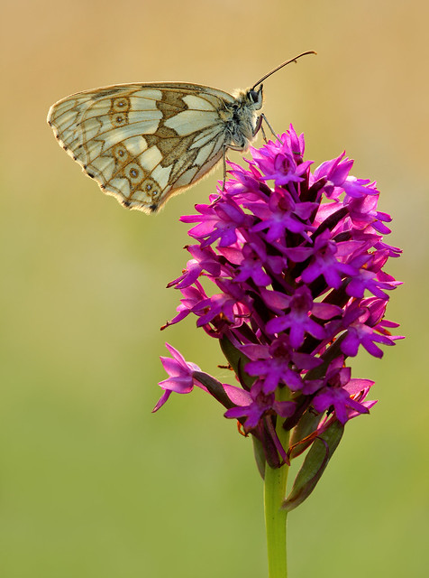 Marbled White on Pyramid Orchid, Friston Forest