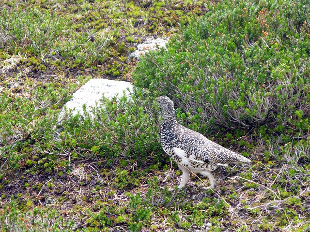Mother Ptarmigan