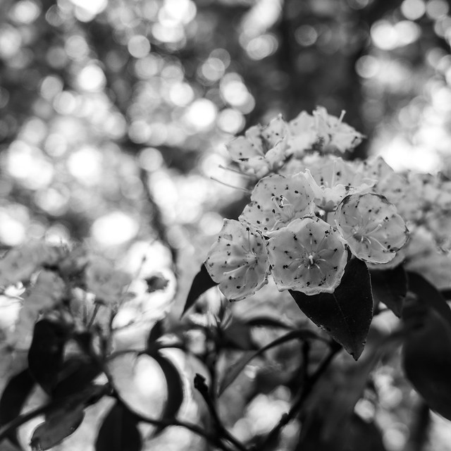 Mountain laurel on Paradise Lane
