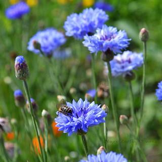 Búzavirág - Cornflower