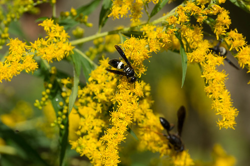 08860 Wasps on Giant Goldenrod