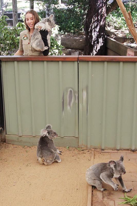 KoalaSanctuary12