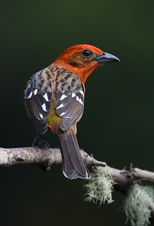 Flame-colored Tanager - male