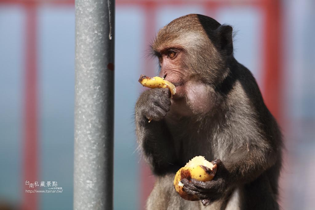 台灣獼猴 (26)