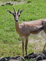 Memphis Zoo 08-31-2016 - Grants Gazelle 2