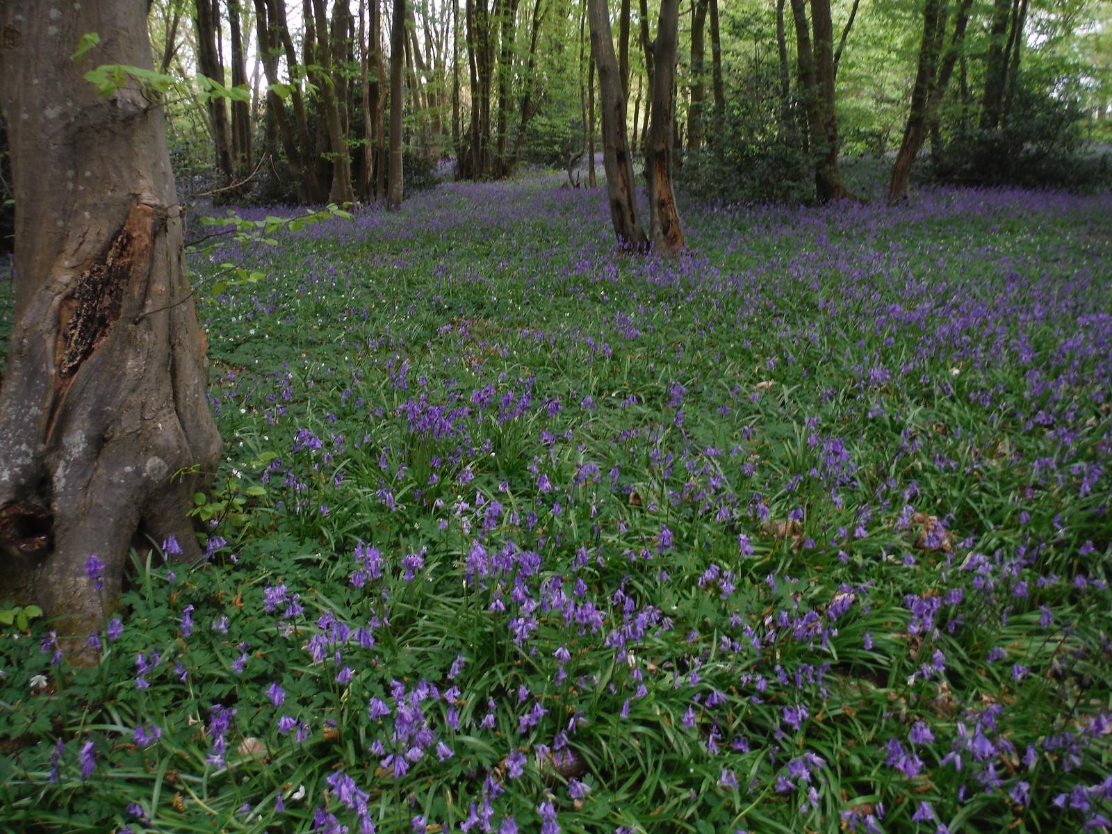 Bluebells in Unnamed Wood near Owlsbury Farm SWC Walk 272 Uckfield to Lewes
