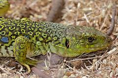 Jewelled Lizard (Timon lepidus) female (found by Jean NICOLAS)
