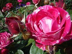 ROSES du PRINTEMPS-2015 - 2