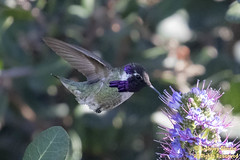 Costa's Hummingbird (male) (2663)