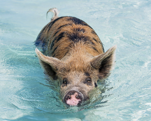 approaching sow female portrait water surface pig swimming exuma cay cute sea beach bahamas island vacation nikon d5