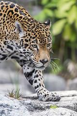 Last jaguar picture