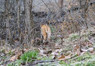 Feral kitty heads into woods, CoMo,   Matt Schacht