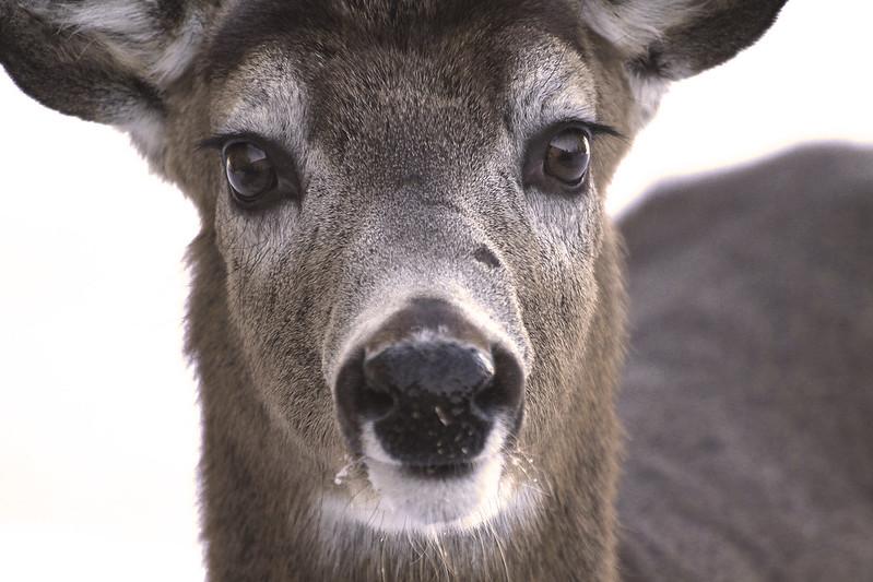 deer boy DeMille