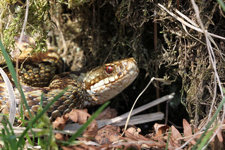 Adder - First views of the Female.
