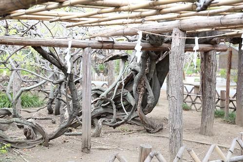 樹齢1200年の藤